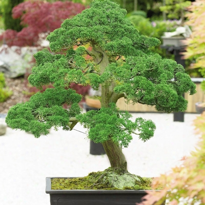 Indoor Juniper