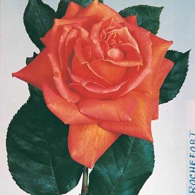Orange Velvet Climbing Rose