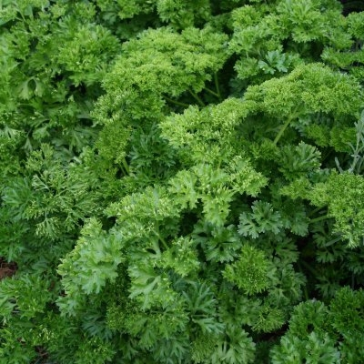 Parsley (paramount) Herb