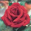 Arctic Flame Rose