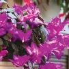 Christmas Lavender Cactus