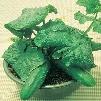 Salad Bush Hybrid Cucumber