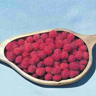Thornless Canby Raspberry