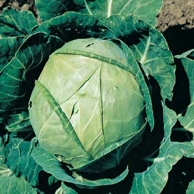 Hybrid Stonehead Cabbage