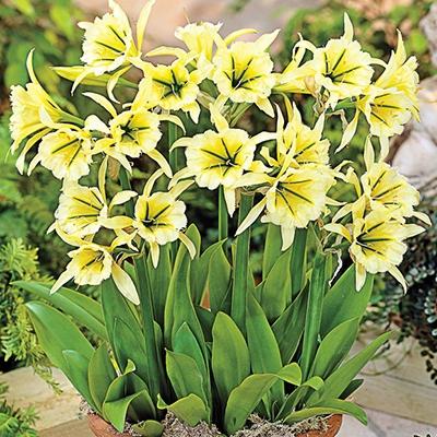 Peruvian Yellow Daffodil