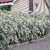 Bridal White Jumbo 10-15' Spirea