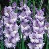 Recurring Blues Gladiolus