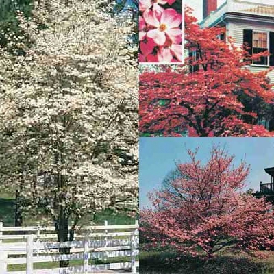 Red Pink And White Dogwood Collection