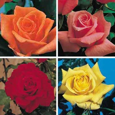 Simple Treasure Rose Co Llection