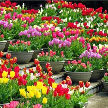 Tulip  Petals Tulip Seeds Potted Indoor And Outdoor Potted Flowering Plants Perennial Flower Seeds 20 Pcs/pack Seeds
